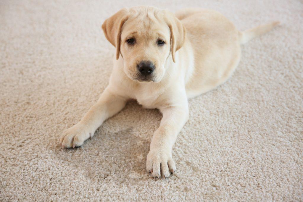 puppy on white carpet next to pet urine stain
